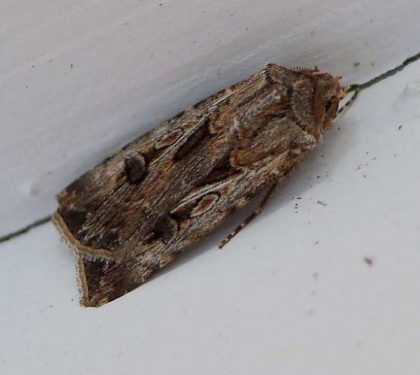 cutworm-moth