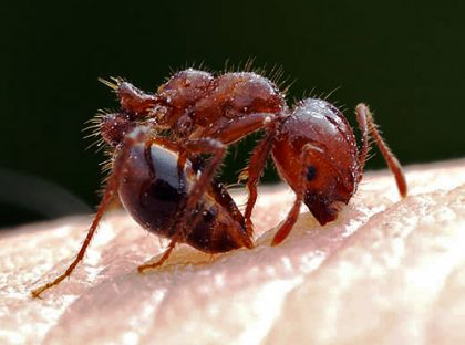 identifying fire ants natural remedies