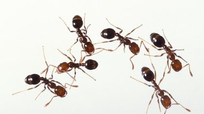 How To Get Rid of Fire Ants Naturally with Home Remedies