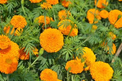 10 Plants that Attract Beneficial Bugs
